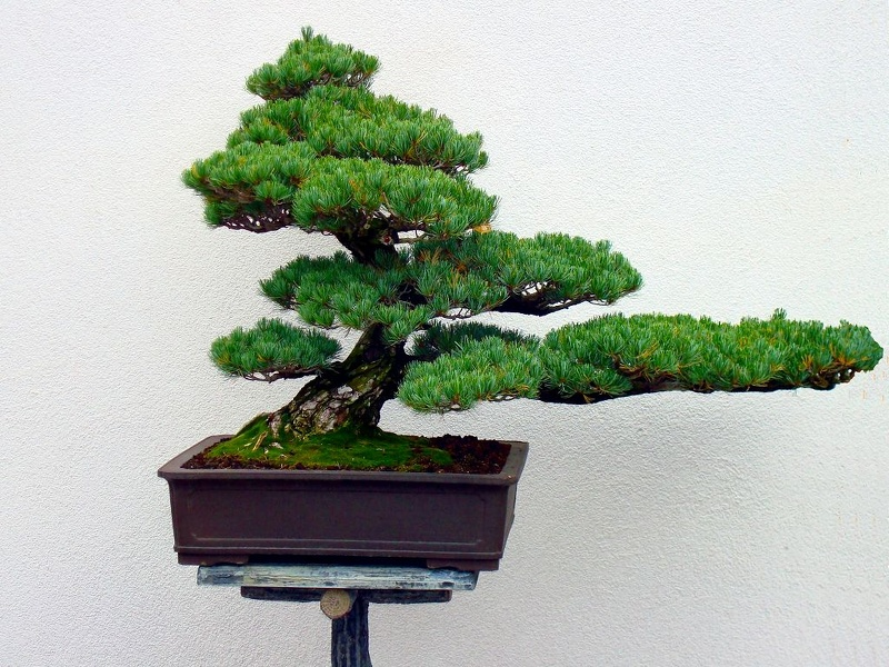 Bonsai_Kiefer.JPG